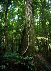 Daintree trees[1]